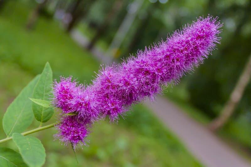 Purple flower blooms in spring park. Purple flower blooms in spring green park royalty free stock image
