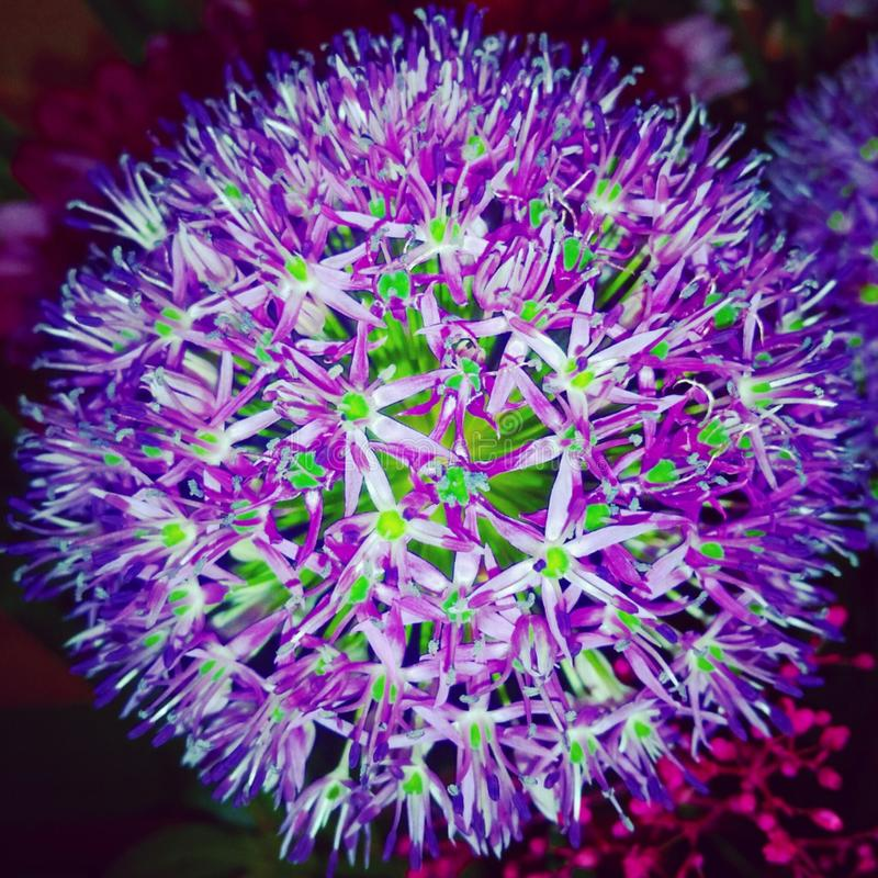 Purple Flower royalty free stock image