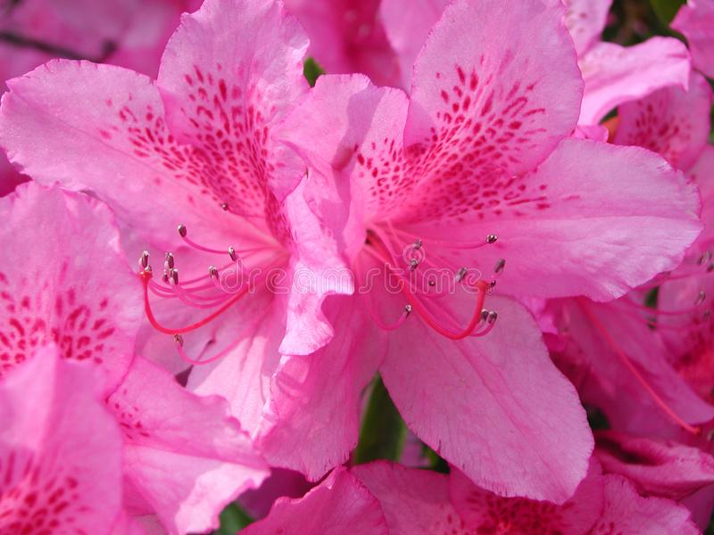 Azalea purple flowers royalty free stock images