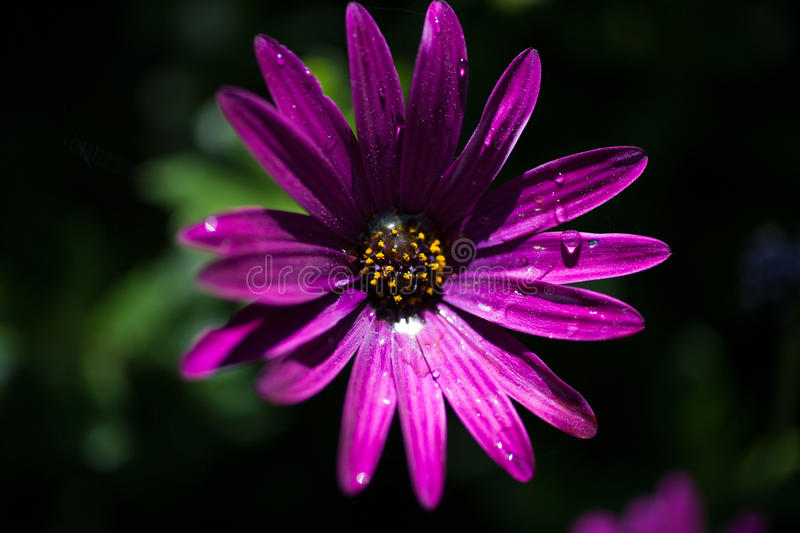 Purple flower in close up royalty free stock photography
