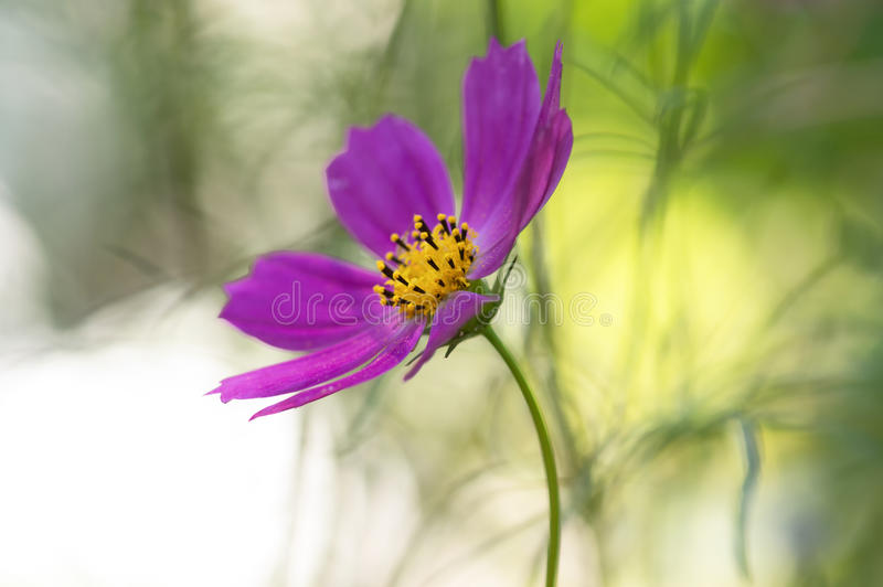 Purple flower on a delicate green background. Summer artistic image of flowers. royalty free stock photography