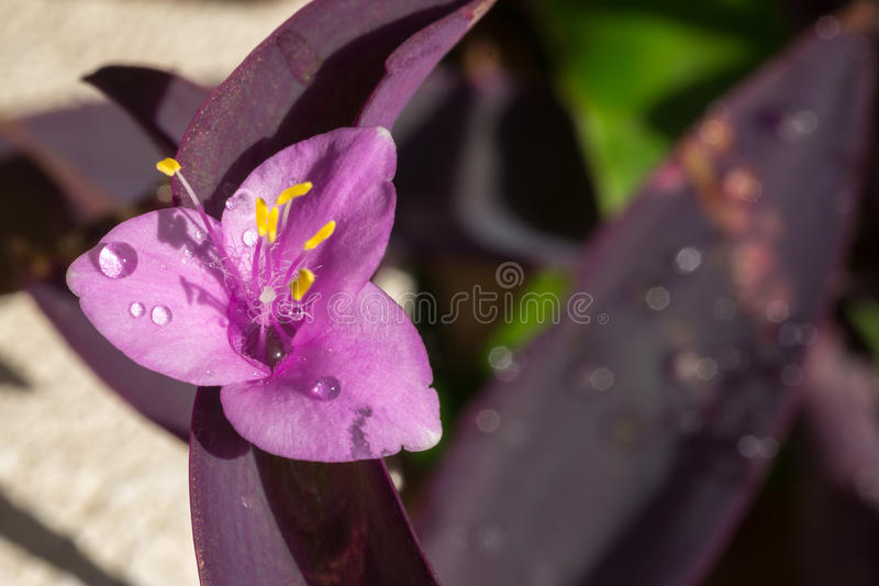 Purple flower with drops. Purple flower with water drops royalty free stock photo