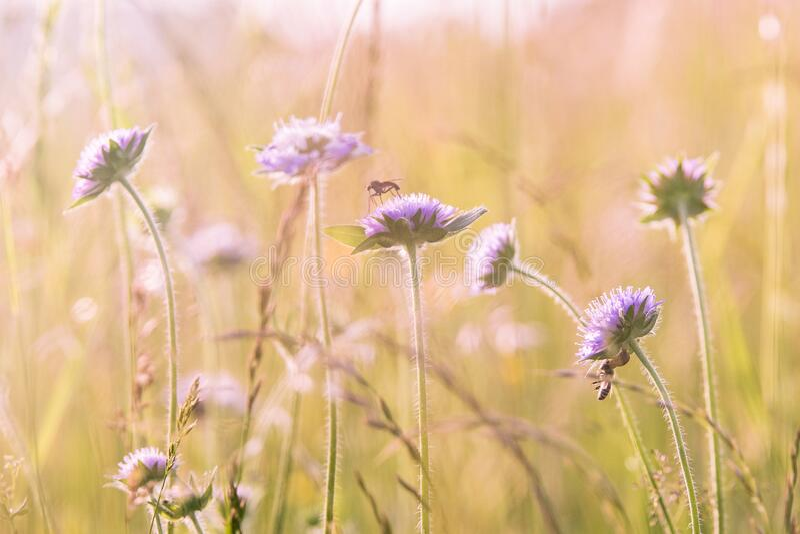 Purple Flower Field royalty free stock photography