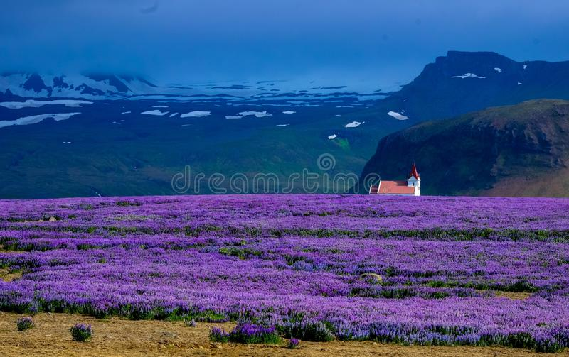 Purple flower field with a house in the distance near a cliff and mountains in the background royalty free stock photo