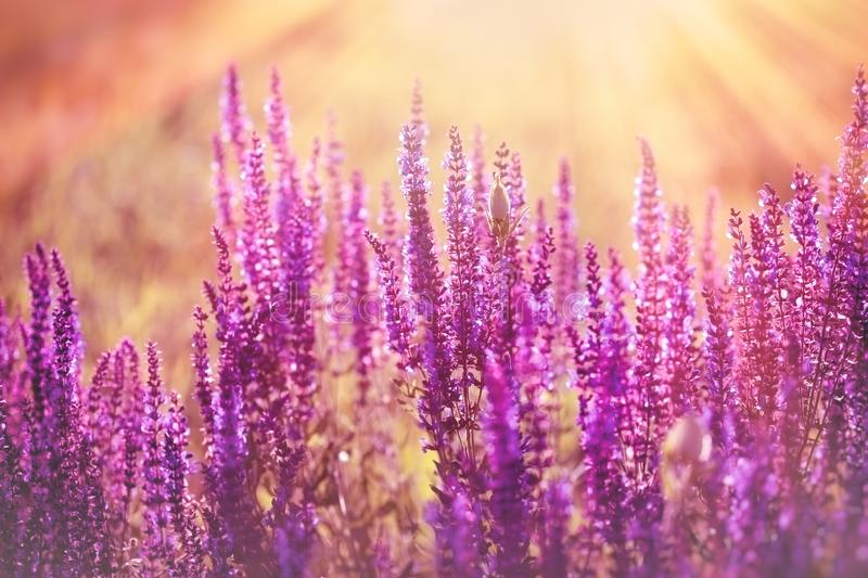 Purple flower, flowering purple flowers, purple flowers lit by sun rays in late afternoon, in dusk. Beautiful nature stock image