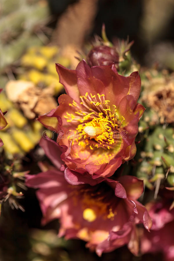 Purple flower on a ford barrel cactus, Ferocactus fordii. In a desert garden in Baja, Southern California stock photo