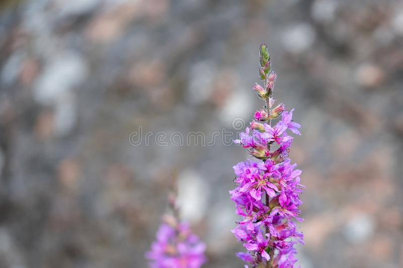 Purple flower in front of a blurry rock background stock image
