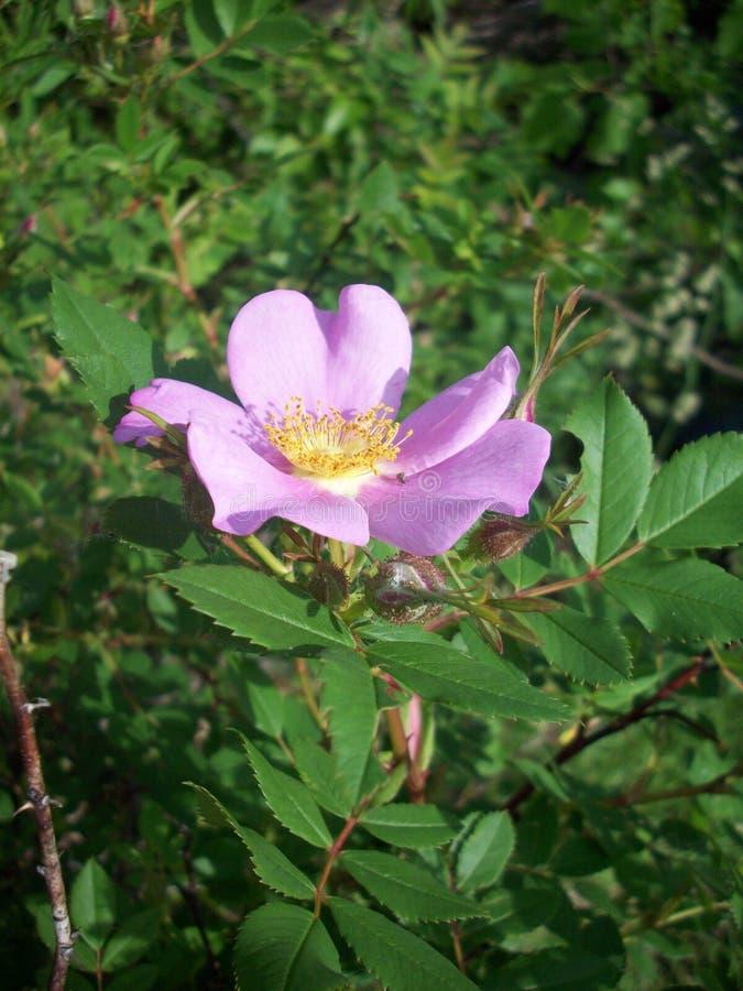 Purple Flower In Garden. Purple flower blooming in the garden stock photo