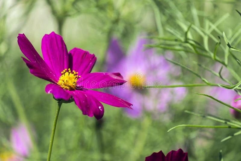 Purple flower of garden cosmos. Cosmos bipinnatus stock photography