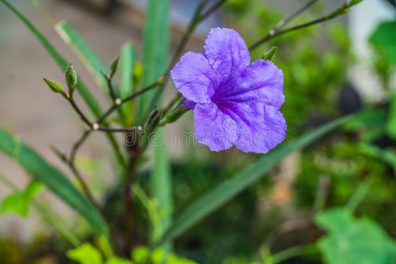 A purple flower in the garden, Waterkanon stock photography