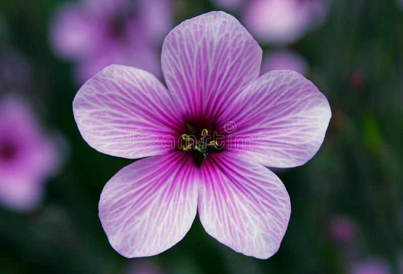 Purple flower of Giant herb-robert, or the Madeira cranesbill. Geranium maderense, known as giant herb-Robert or the Madeira cranesbill, is a species of royalty free stock images