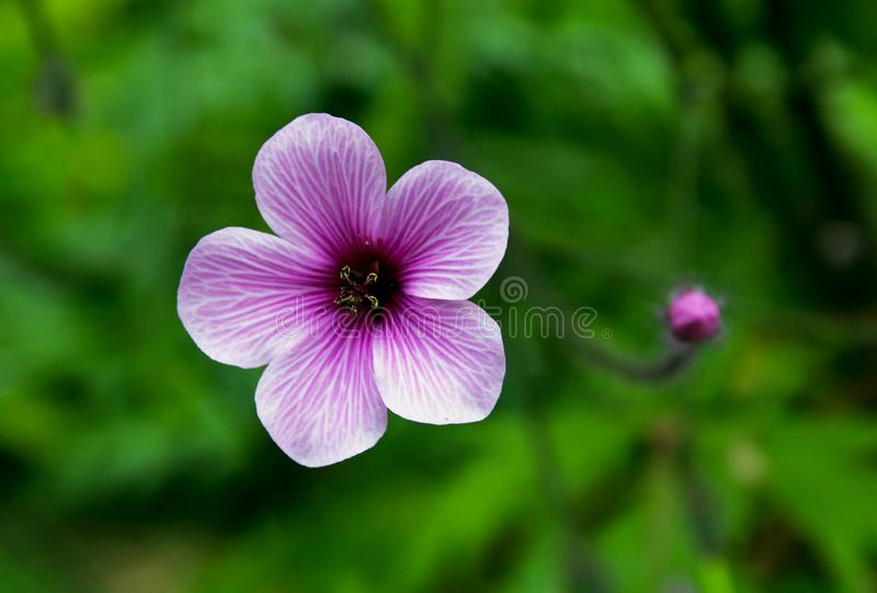 Purple flower of Giant herb-robert, or the Madeira cranesbill. Geranium maderense, known as giant herb-Robert or the Madeira cranesbill, is a species of royalty free stock photography