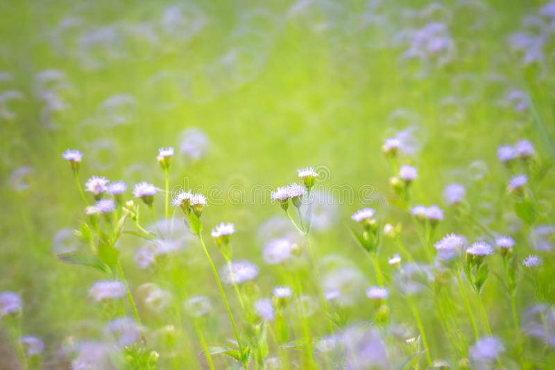 Purple flower grass with nature blur background royalty free stock images