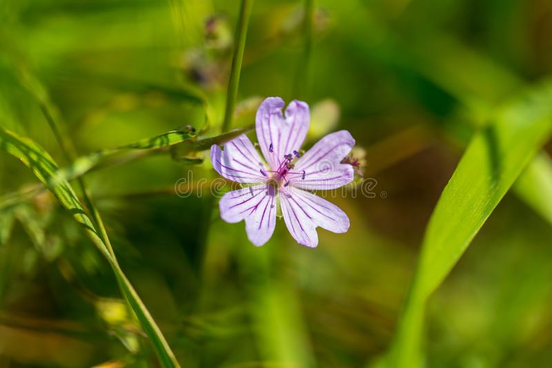 Purple flower in the grass on nature royalty free stock image