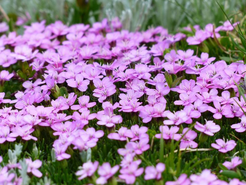 Purple Flower and Green Grass stock photography