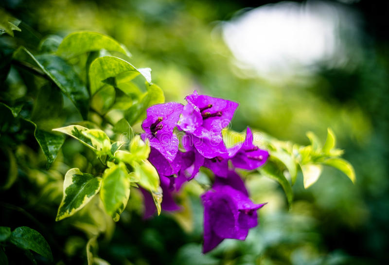 Purple flower with green leaves royalty free stock photo