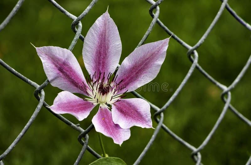 Purple Flower growing through chain link fencel stock photo