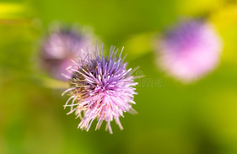 Purple flower grows in nature royalty free stock image