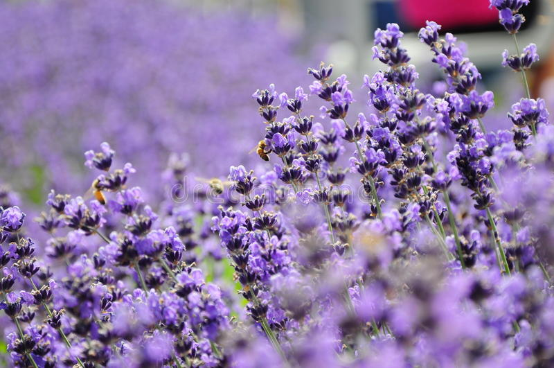 Purple flower and industrious bees stock photos