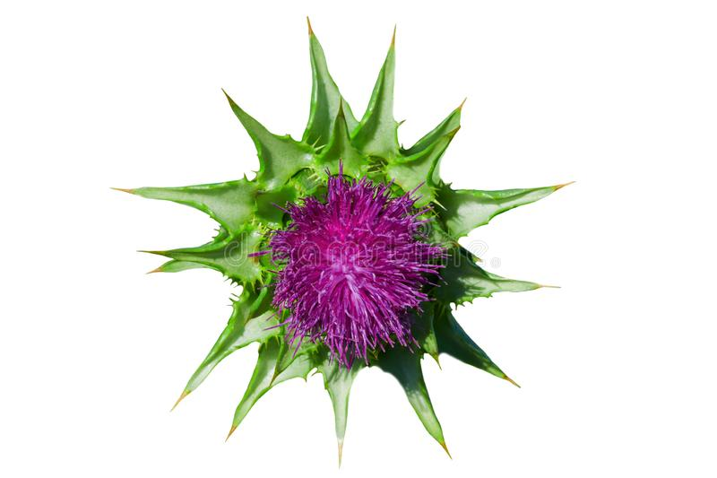 Purple flower medicinal plant milk Thistle spotted with leaves, isolated royalty free stock photography