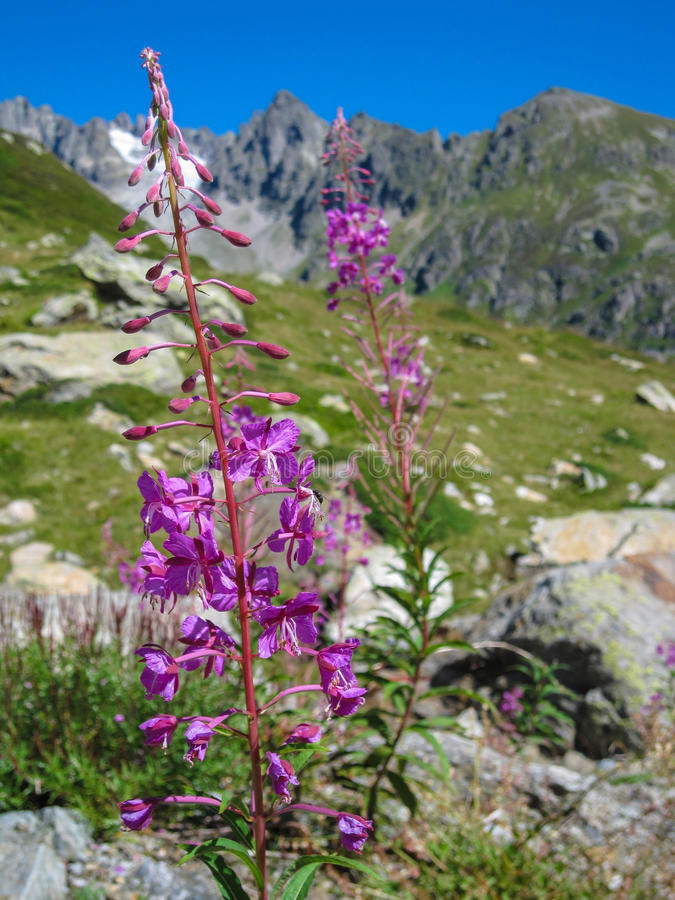 Download Purple Flower With Mountain Landscape In The Alps Stock Photo - Image: 83704290
