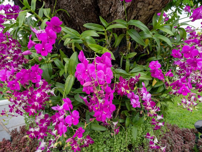 Purple flower name is orchid bloom on beautiful,Nature green of sun light.In Bangkok Thailand royalty free stock images