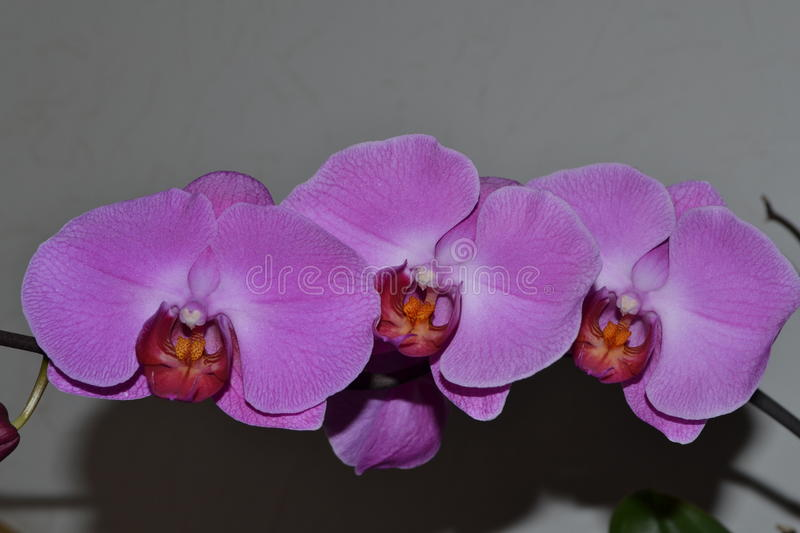 Purple flower orchid stock images