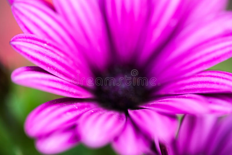 Purple flower of osteospermum royalty free stock images