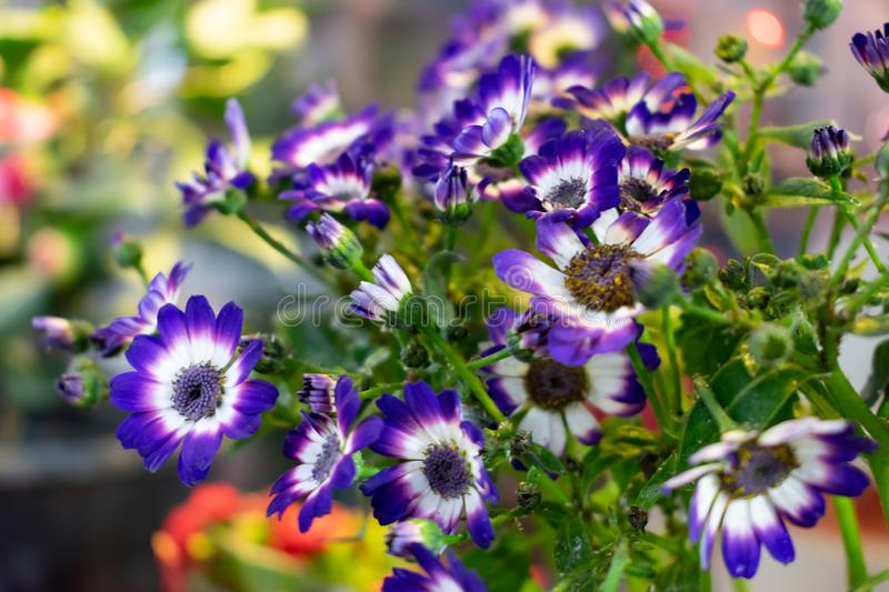 Purple flower Osteospermum known as daisybush or African daisy. blurred background stock photo