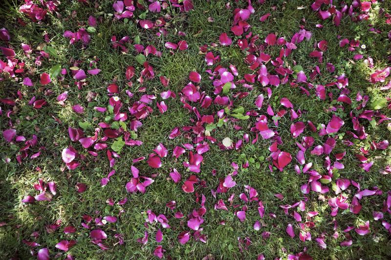 Purple flower petals on the grass on a sunny summer day stock image