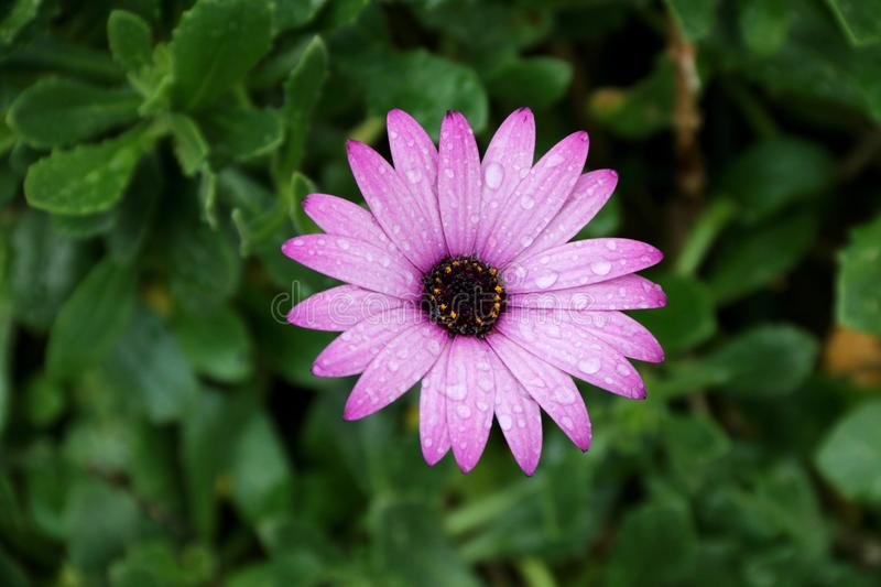 A purple flower after rain stock photo