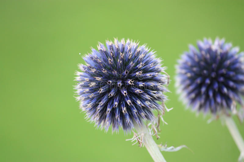 Download Purple Flower Resembling Fireworks Against A Green Stock Photo - Image of botanic, chive: 14928382
