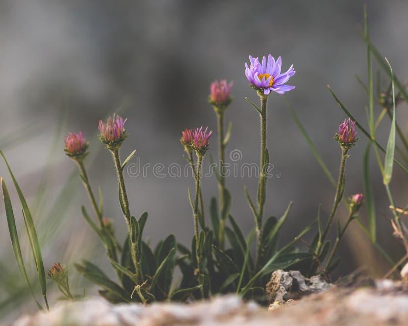Purple flower on rock stock photos