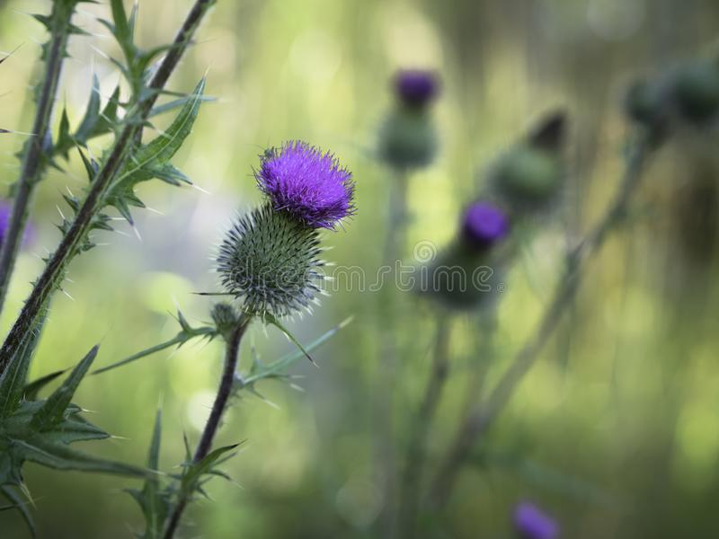 Purple flower of spear thistle stock photos