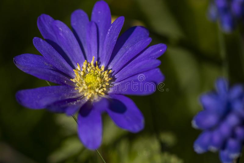 Purple Flower at Springtime royalty free stock photo