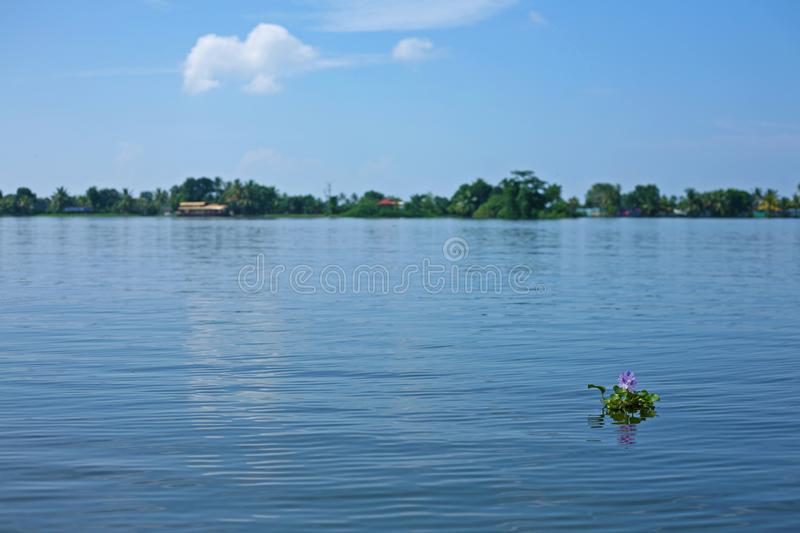 Purple flower sticks out the water in typical Keralan sunny scene. Serene and still water on a sunny day on the Kerala backwaters, India stock images