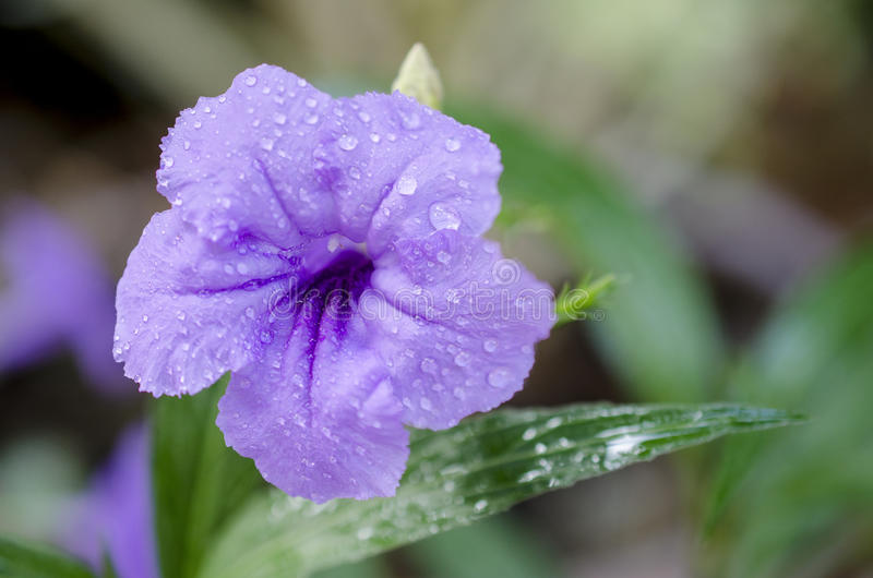Purple flower on summer. Purple flower with water drop after rain stock photography