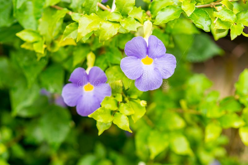 Purple flower of Thunbergia Erecta bush clock vine blossom in mo. Rning garden thunbergia erecta and blurred green background royalty free stock photography