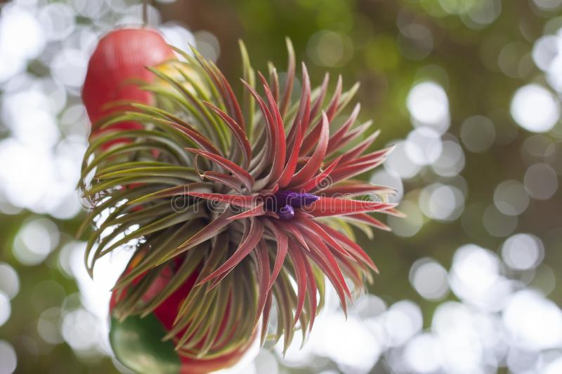 Purple flower of Tillandsia ionantha is air plant hang in pot. stock image