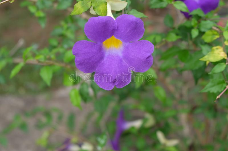 Purple flower on tropical foliage nature background. royalty free stock photography