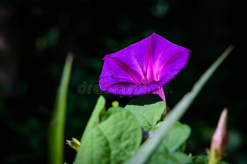 Purple Flower on a Vine. Monarch migration in Fredericksburg Texas during October migration south to Mexico these purple vine flowers were everywhere stock images