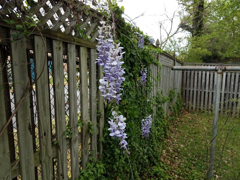 Purple flower vine plant and green leaves growing on wood fence. Purple flower vine plant weed and green leaves growing on wood fence royalty free stock photos