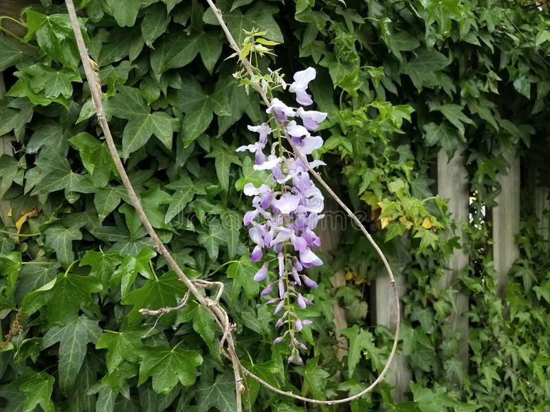 Purple flower vine plant and green leaves growing on wood fence. Purple flower vine plant weed and green leaves growing on wood fence stock image