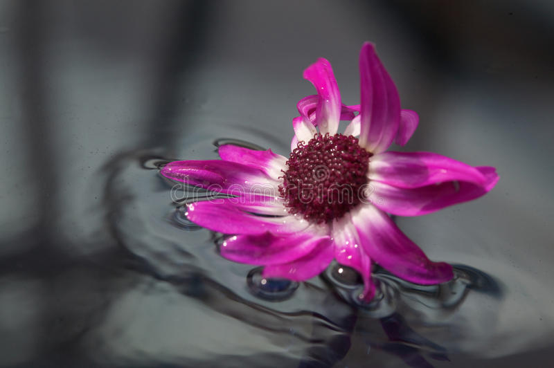 Purple flower in water. Close up of purple flower in water stock images