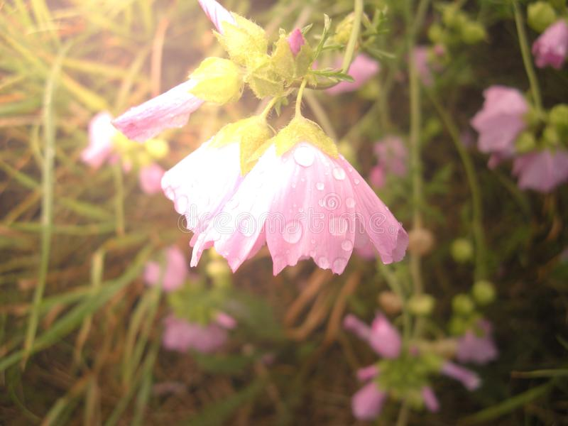 Purple flower with water drops, relaxing nature. Natural photo royalty free stock photos