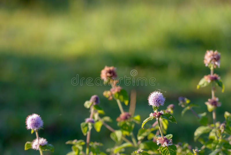 Purple flower of a water mint plant from close. Closeup of the pinkish to lilac colored flower of a water mint plant in the foreground in its own damp habitat in royalty free stock photography