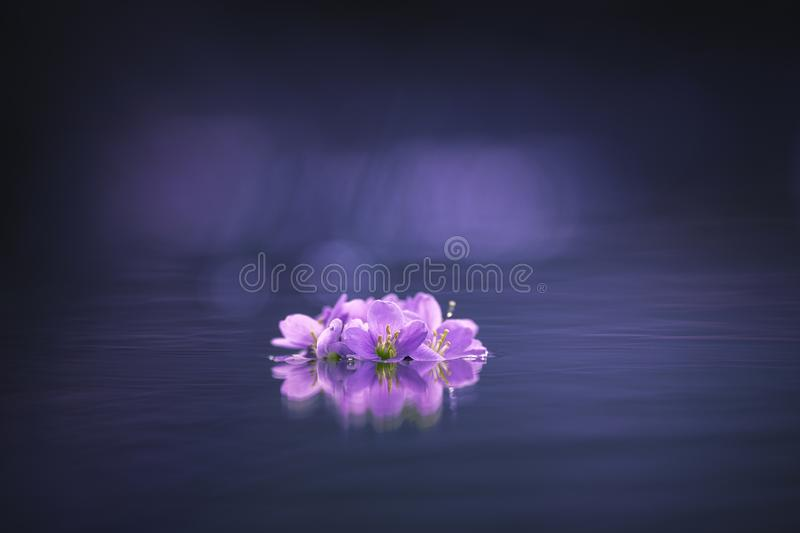Purple flower on the water. Dark background royalty free stock image
