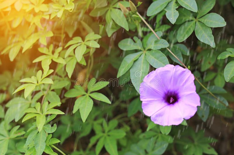 Purple flower which Thai people called cracker plant known as weed and herb with rays of sunlight and bokeh.  stock images