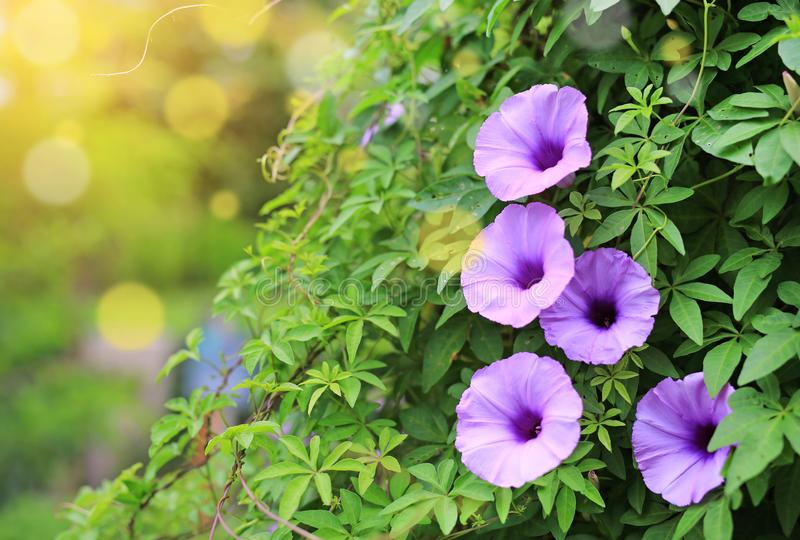 Purple flower which Thai people called cracker plant known as weed and herb with rays of sunlight and bokeh.  stock photo