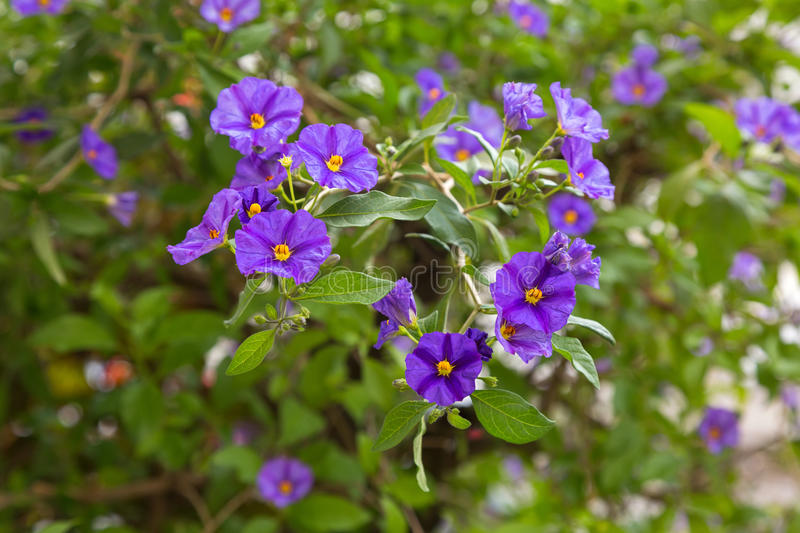 Purple flower with yellow stamen in the garden solanum rantonne download purple flower with yellow stamen in the garden solanum rantonne stock photo image mightylinksfo